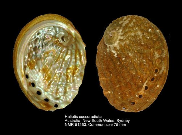 Haliotis coccoradiata