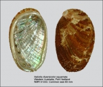 Haliotis diversicolor squamata