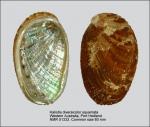 Haliotis diversicolor squamata