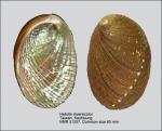 Haliotis diversicolor