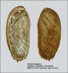 Haliotis elegans