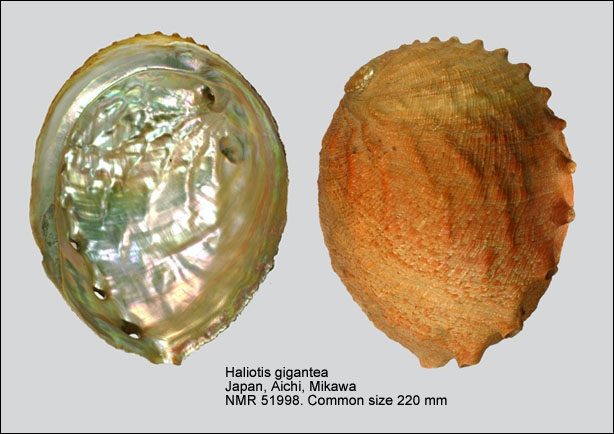 Haliotis gigantea