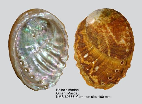Haliotis mariae