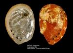 Haliotis rubiginosa