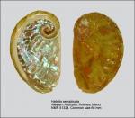 Haliotis semiplicata