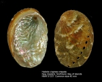 Haliotis virginea crispata
