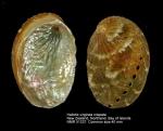 Haliotis virginea crispata