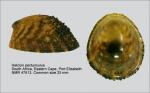 Helcion pectunculus