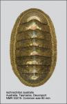 Ischnochiton (Ischnoradsia) australis