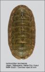 Ischnochiton (Ischnochiton) boninensis