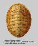 Ischnochiton (Ischnochiton) carinulatus
