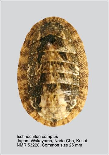 Ischnochiton comptus