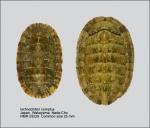 Ischnochiton (Haploplax) comptus