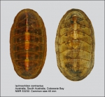 Ischnochiton (Ischnochiton) contractus