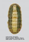 Ischnochiton (Ischnochiton) elongatus