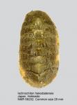 Ischnochiton (Ischnochiton) hakodadensis