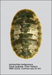 Ischnochiton (Haploplax) lentiginosus