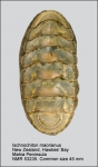 Ischnochiton (Ischnochiton) maorianus