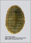 Ischnochiton (Haploplax) poppei