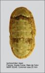 Ischnochiton (Ischnochiton) rissoi