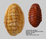 Ischnochiton (Ischnochiton) striolatus