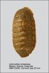 Ischnochiton (Ischnochiton) tridentatus