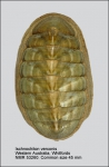 Ischnochiton (Ischnochiton) verconis