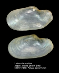 Laternulidae