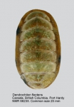 Lepidochitona (Dendrochiton) flectens