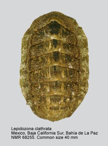 Lepidozona clathrata