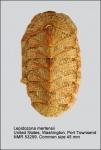 Lepidozona mertensii