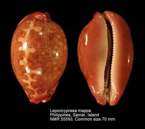 Leporicypraea mappa