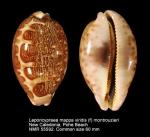 Leporicypraea mappa admirabilis