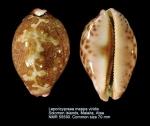 Leporicypraea mappa viridis