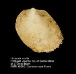 Limopsis aurita