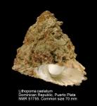 Lithopoma caelatum
