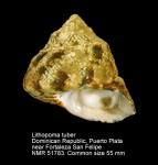 Lithopoma tuber