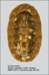 Loricidae