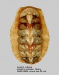 Chitonidae