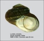 Lunella undulata