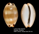 Luria lurida minima