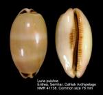 Luria pulchra