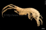 Ischyrocerus megalops