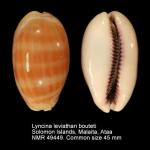 Lyncina leviathan bouteti