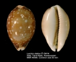Lyncina vitellus
