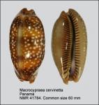 Macrocypraea cervinetta