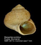 Margarites sordidus