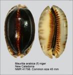 Mauritia arabica