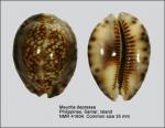 Mauritia depressa