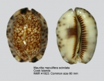 Mauritia maculifera scindata